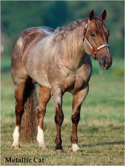 Metallic Cat Horses For Sale Australia